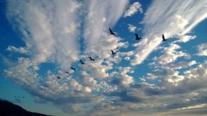 Pelicans Coming