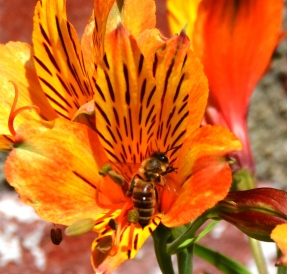 Honey bee in a lily.