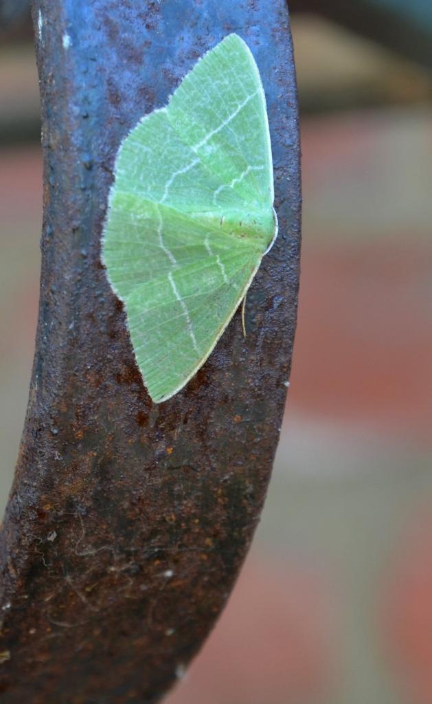 green moth.2