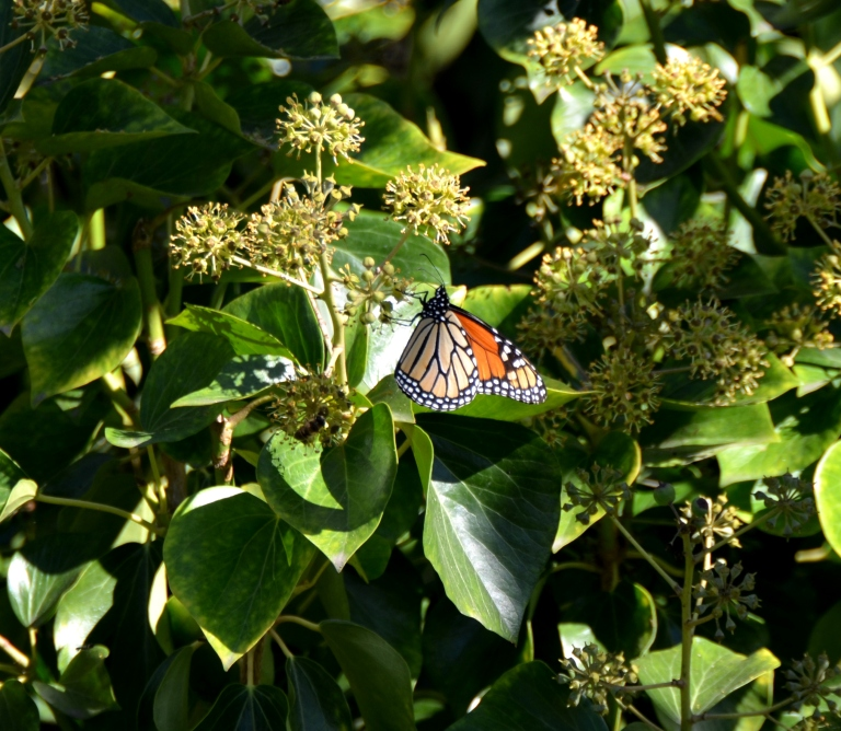 My first sighting of a monarch this season.