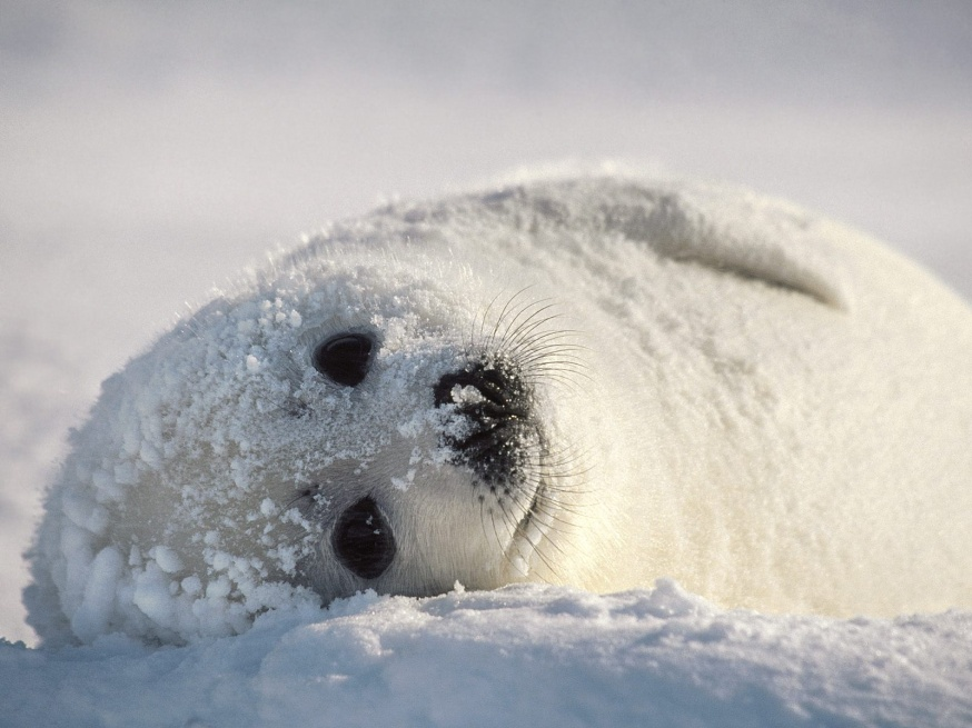 Harp Seal | Cute Animal Interesting Facts & Images | The Wildlife