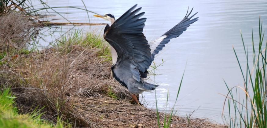 blue heron2