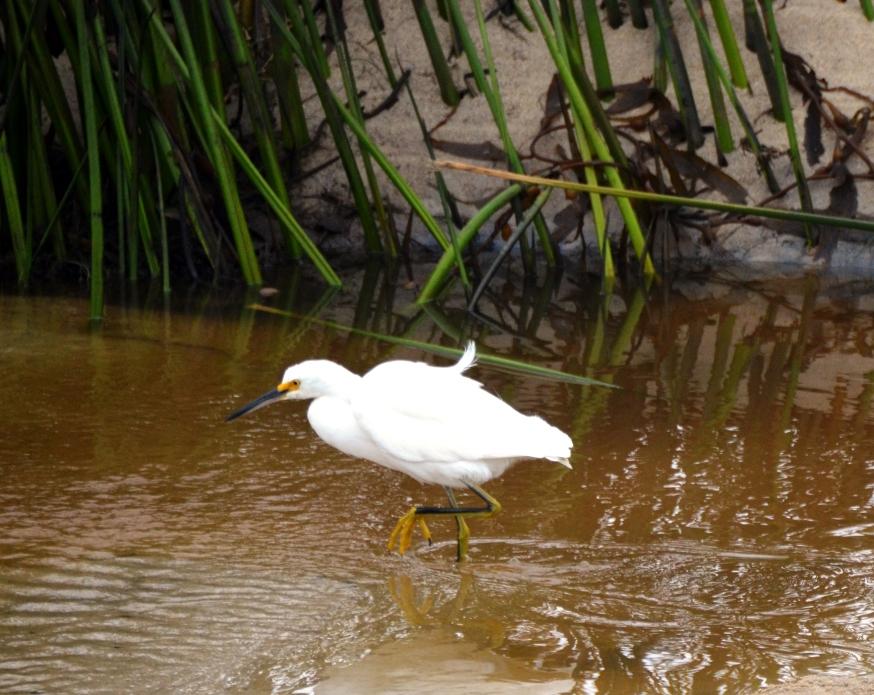 egret in river
