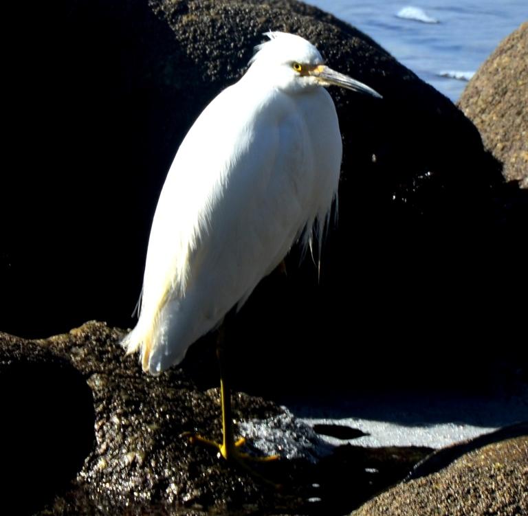 egret on the rocks - Copy