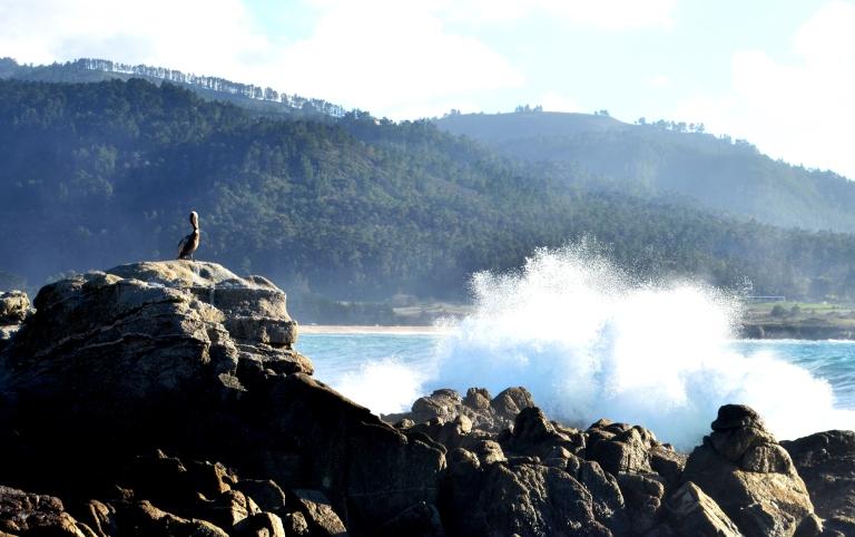 pelican watching