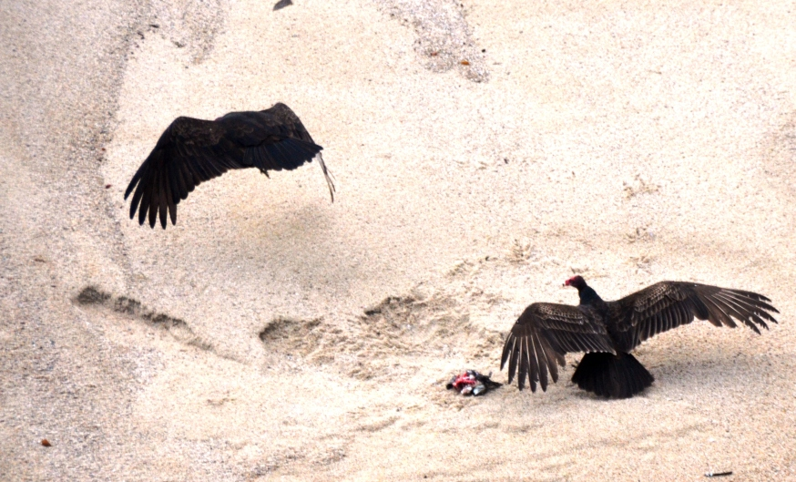 vultures at the beach