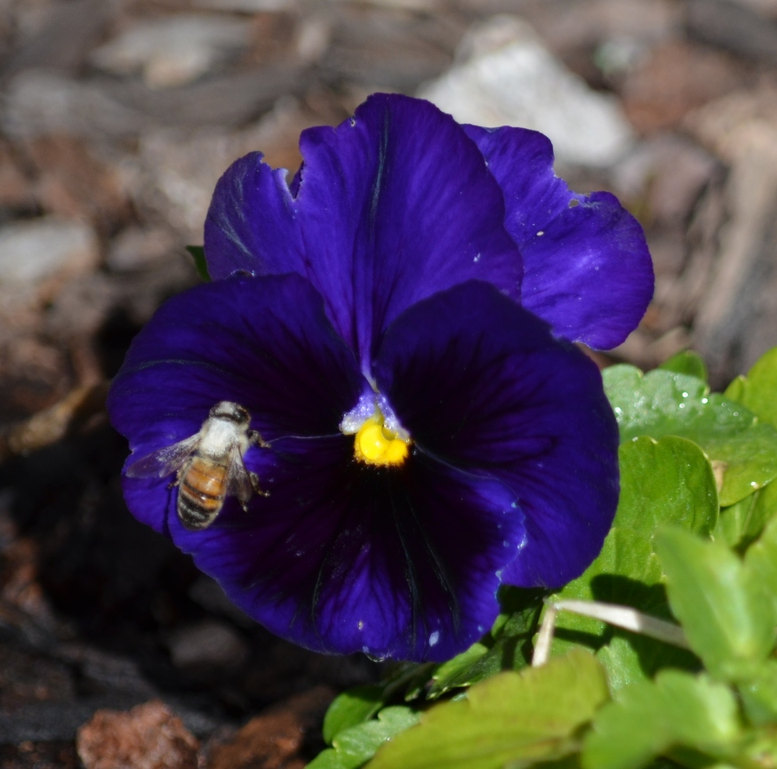 bee in a pansy