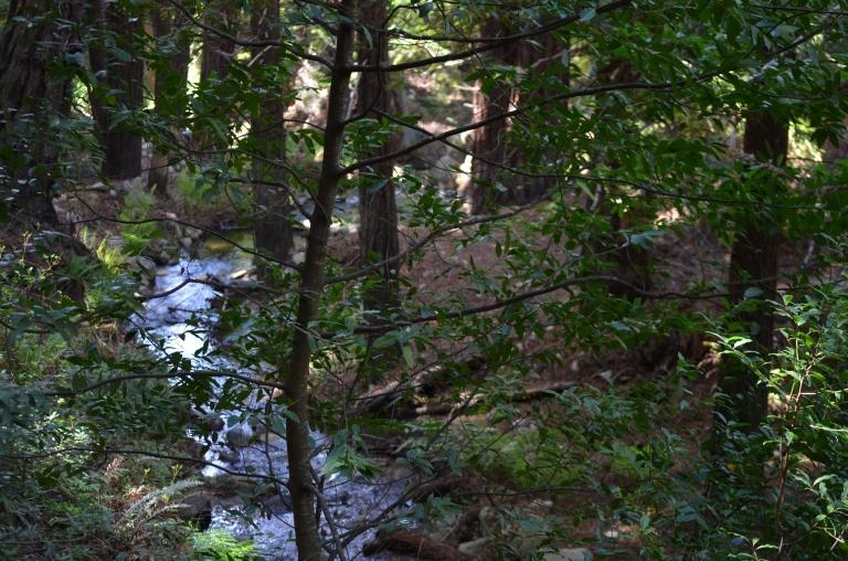 Garrapata redwoods2