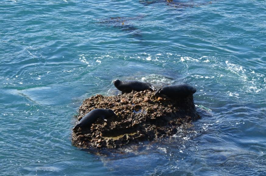 sea lion.3
