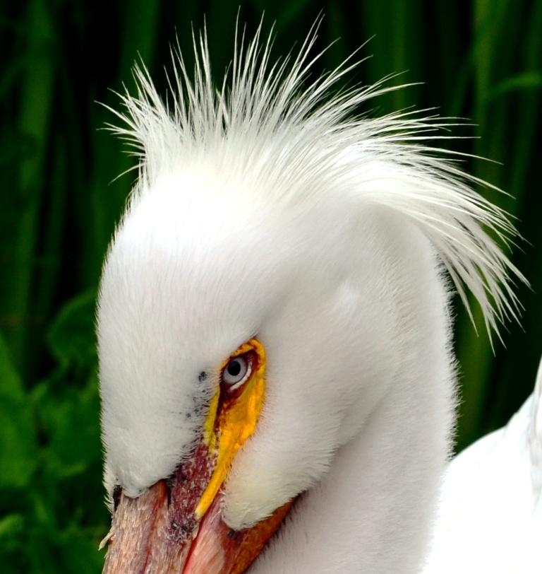 pelican eyes