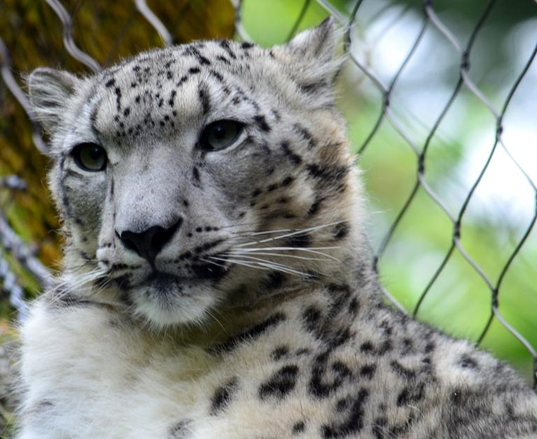 snow leapard.2