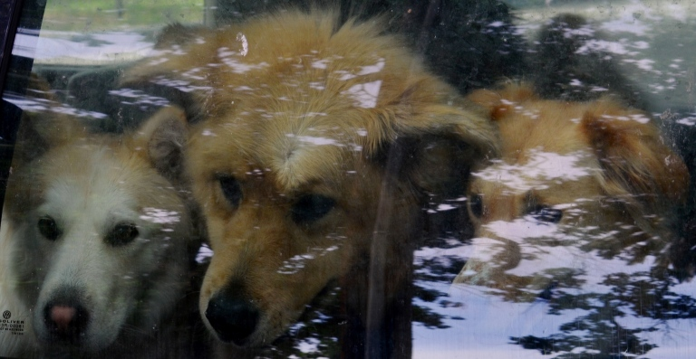 rescue dogs.1