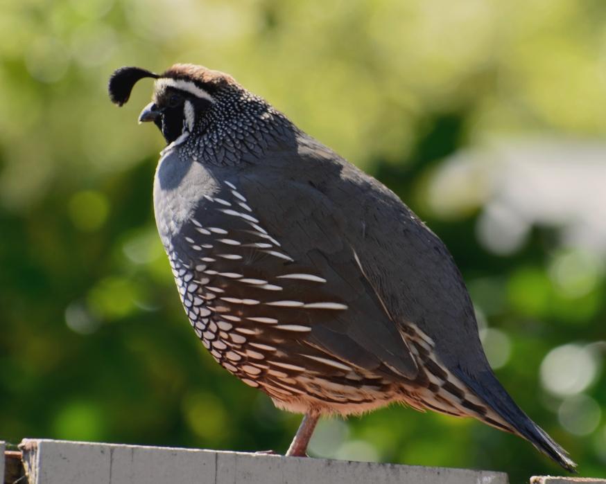 quail.4 - Copy