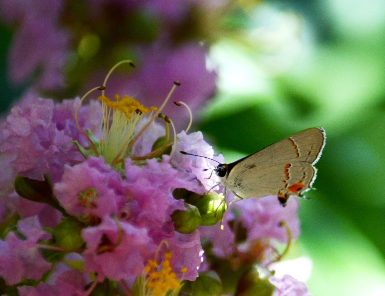 butterfly in myrtle.2
