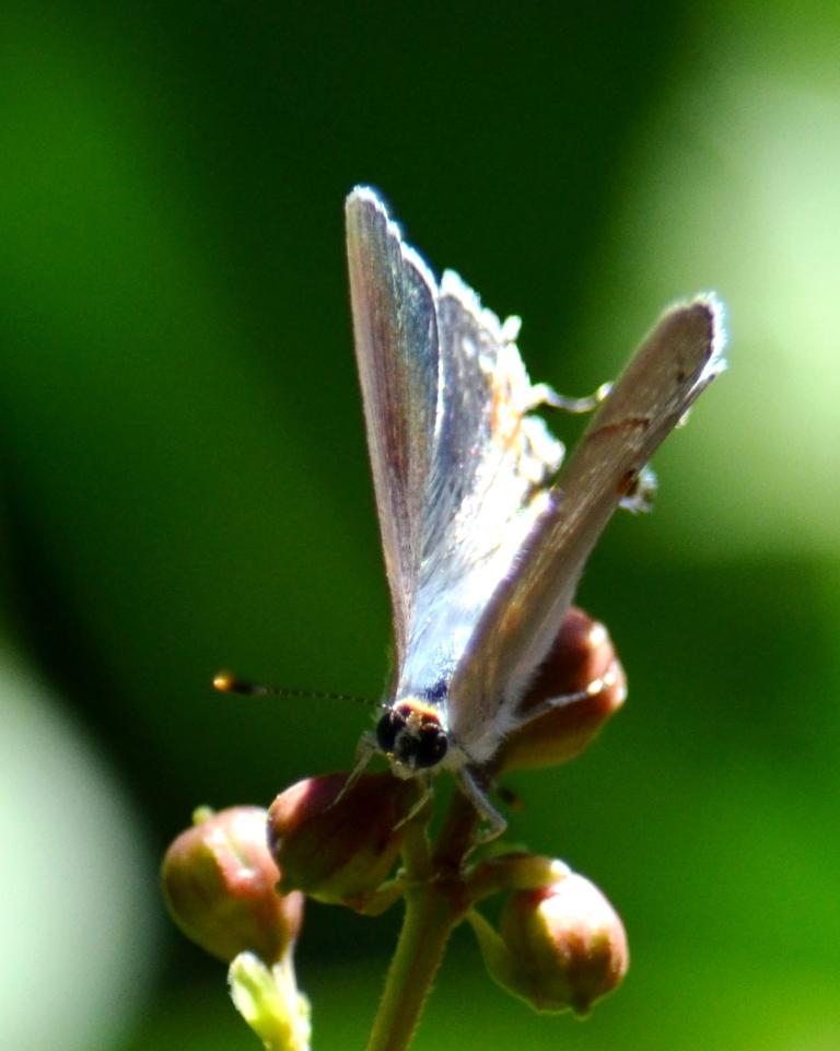 butterfly in myrtle