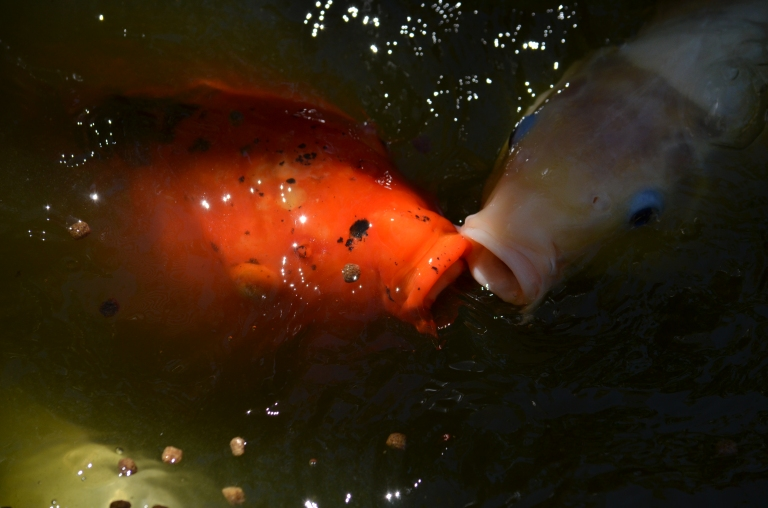 koi eating