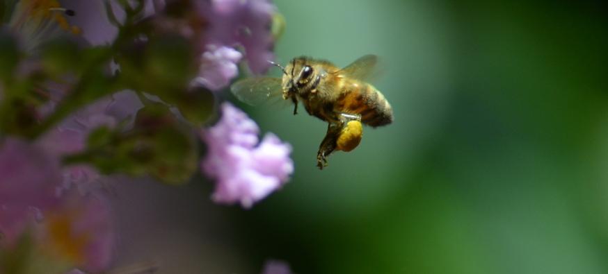 pollen sacs - Copy (2)