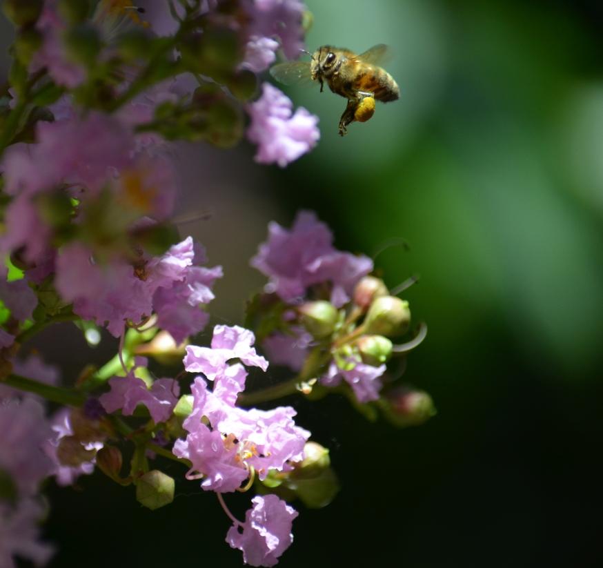 pollen sacs - Copy