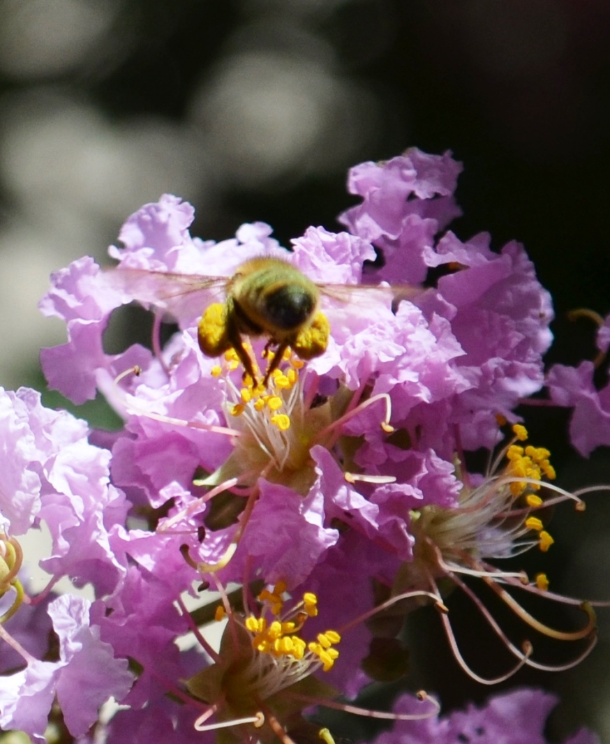 pollen sacs2 - Copy
