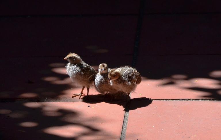 quail babies