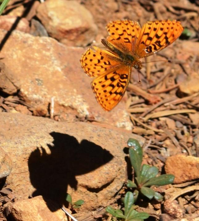Butterfly Shadow Logo