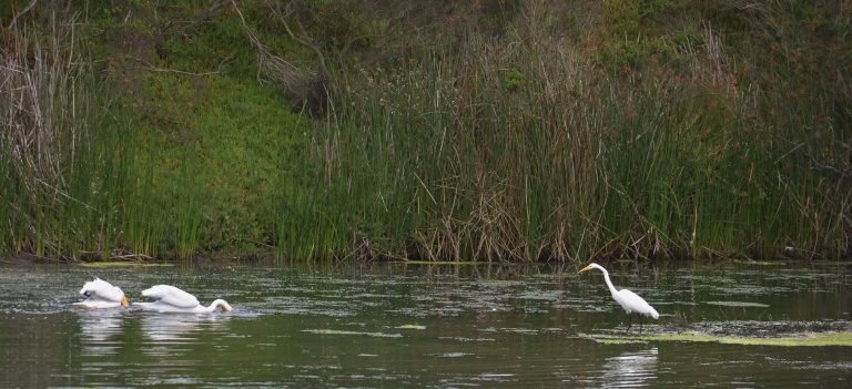 Pelicans and Egret