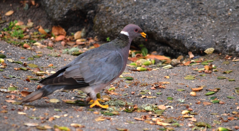 ring necked pigeon
