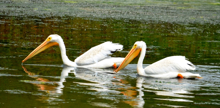white pelican2 - Copy