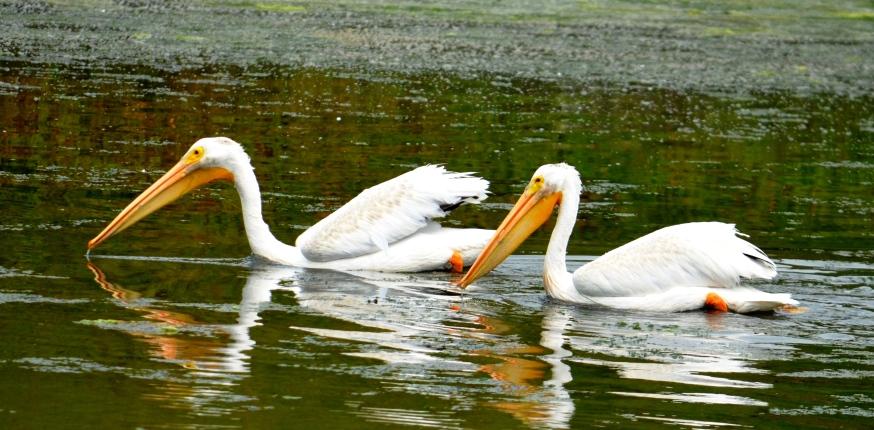 white pelican2 - Copy