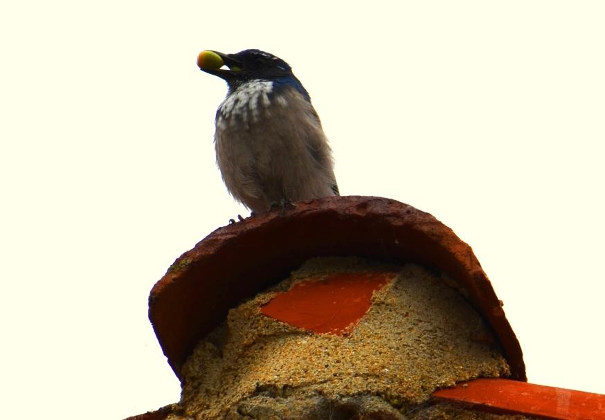 bird-with-acorn