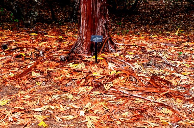ironwood-tree
