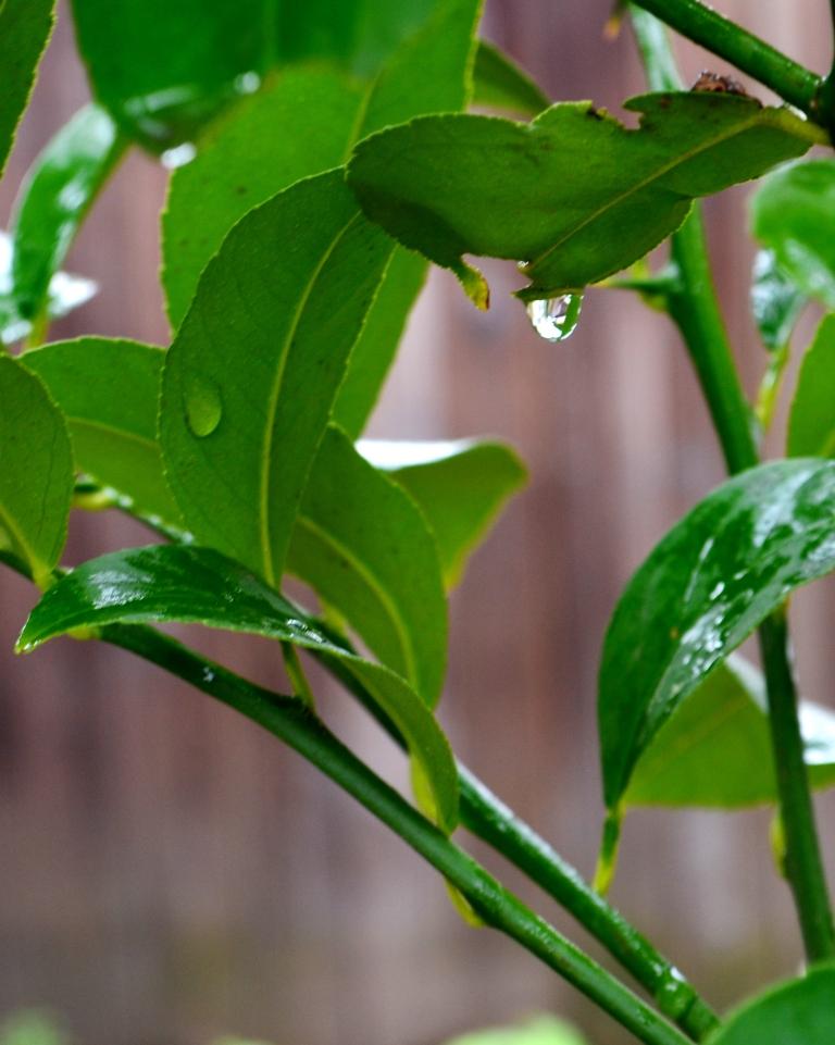 raindrop-on-lemon-tree