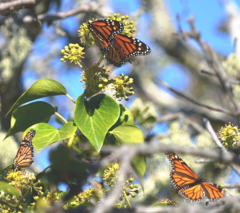 monarch-trio