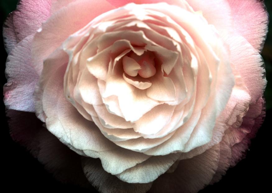 camelliabloom