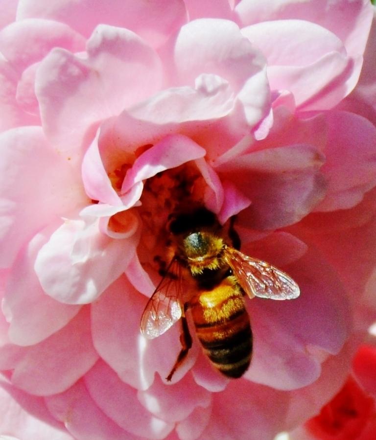 bee in flower - Copy - Copy