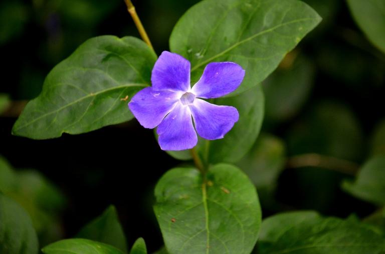 blue flower - Copy