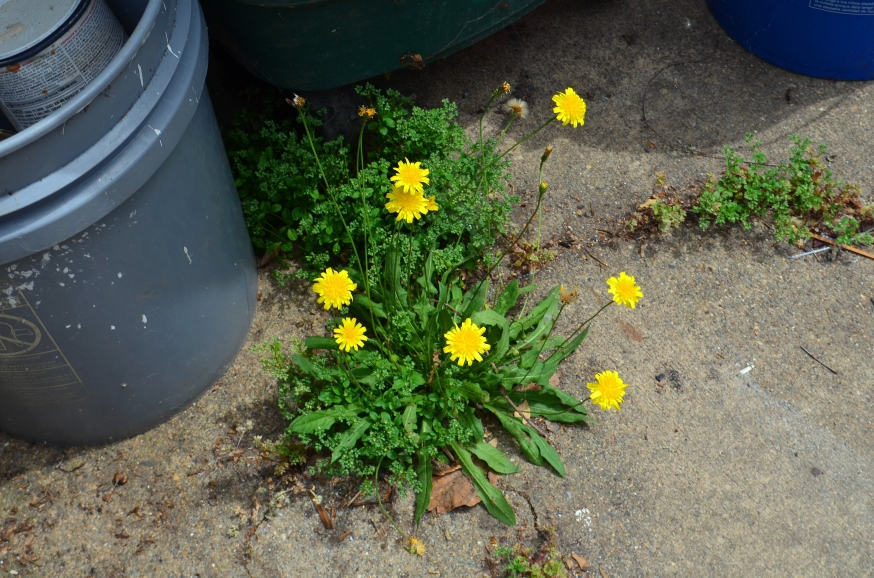 yellow weed2