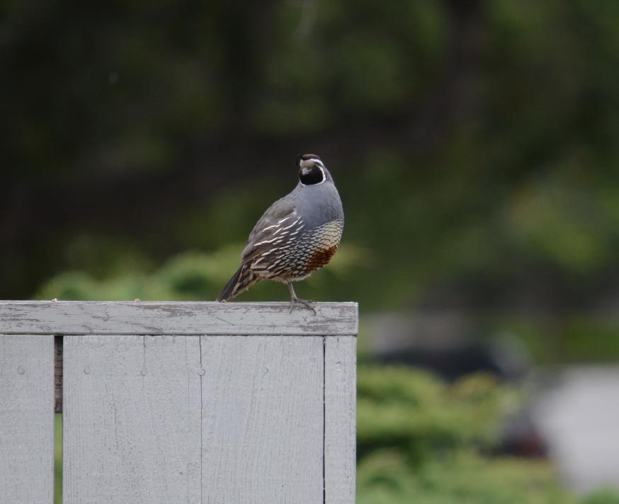 quail watch2 - Copy