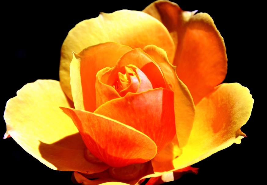 Rose shadow