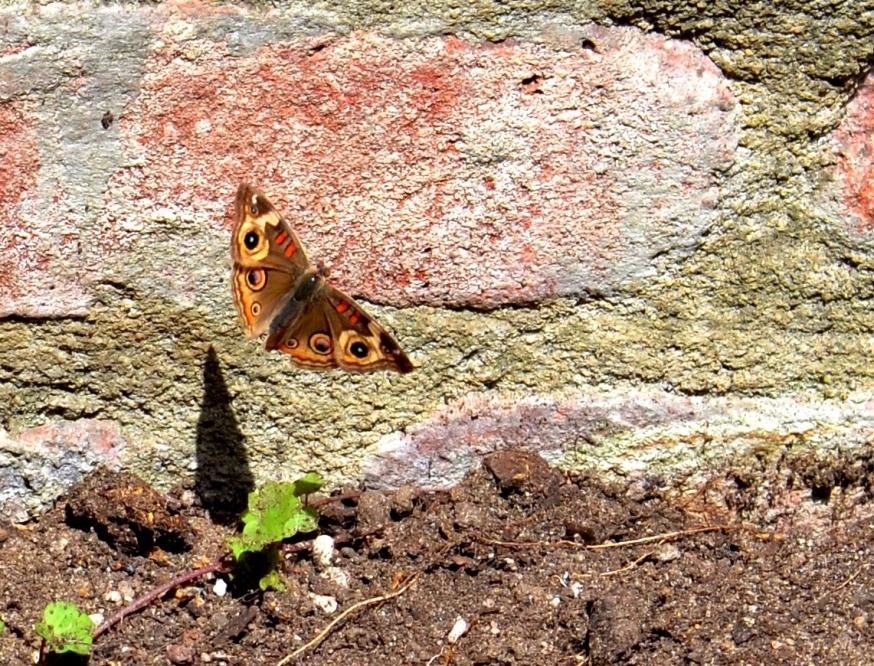 butterfly shadow1 - Copy
