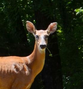 deer.2 - Copy