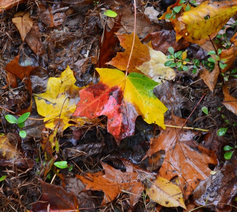 four colored leaf.JPG