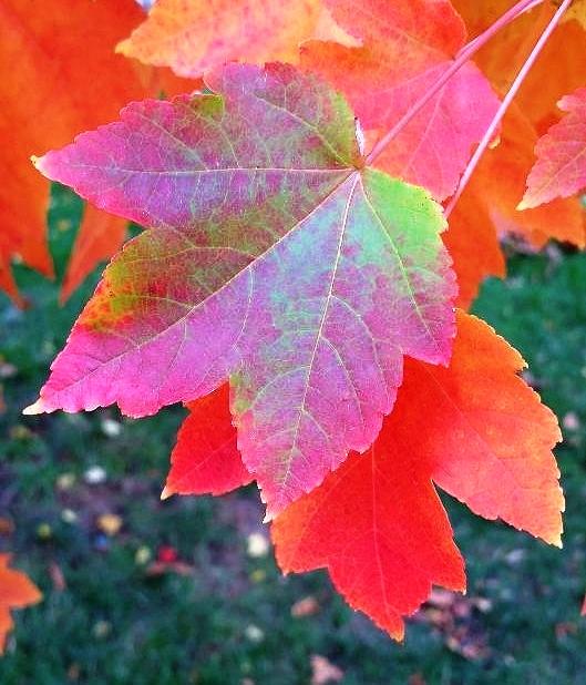 tricolor leaf