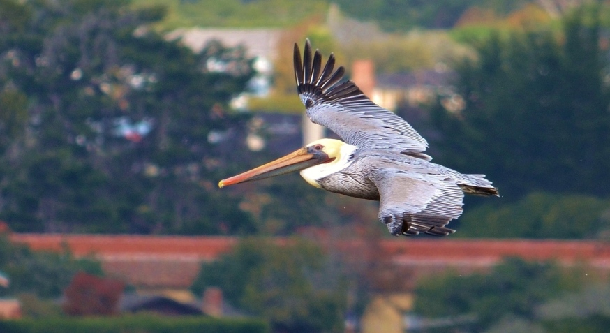 pelican at the point.JPG