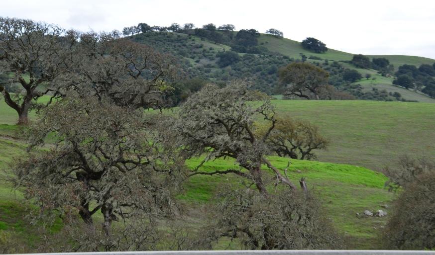gnarled oaks.JPG