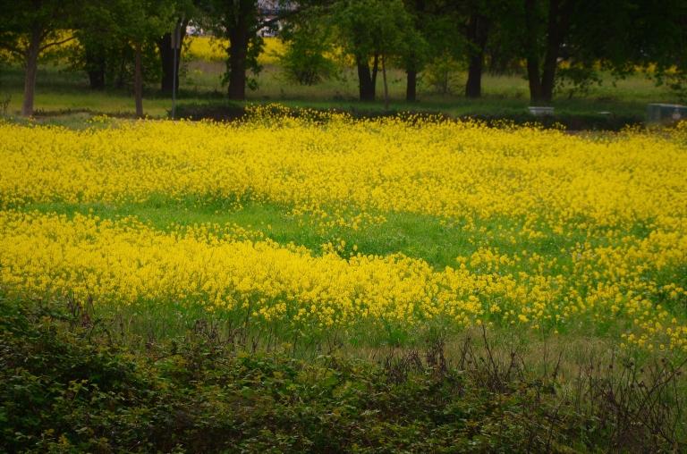 wild mustard (2).JPG