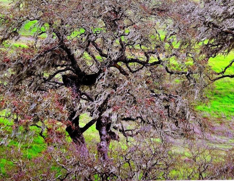 gnarled oaks (2).JPG
