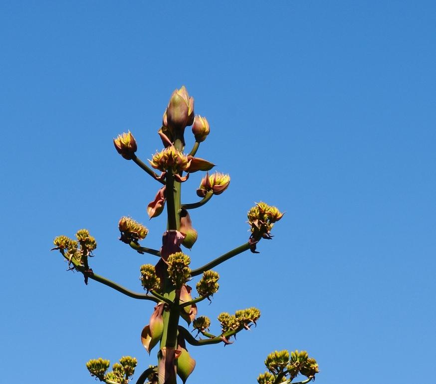 blue agave.1 - Copy.JPG