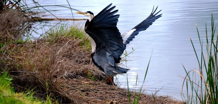 great blue heron3.JPG
