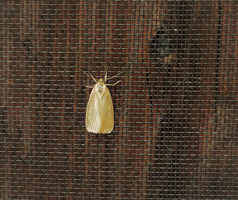 oak moth (4).JPG